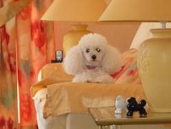 Cybelle, chien Caniche