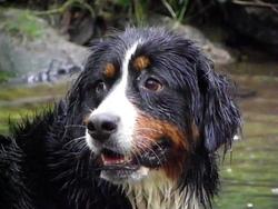 Cybelle, chien Bouvier bernois