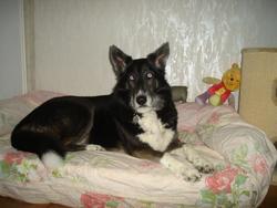 Cybelle, chien Husky sibérien