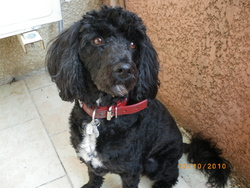 Cyko, chien Caniche