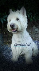Cymbad, chien West Highland White Terrier