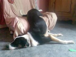 Cyno, chien