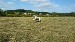 Cyrano, chien Dalmatien