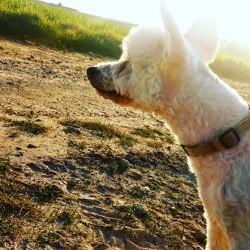 Cyrano, chien Chien chinois à crête