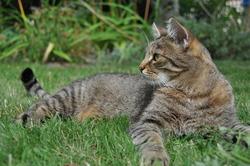 Cyrano, chat Européen