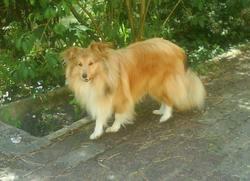 Cyris, chien Colley à poil long
