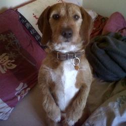 Cyrius, chien Basset fauve de Bretagne