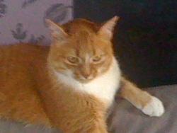 Cyrius, chat Européen