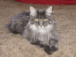 Cyrius, chat Maine Coon