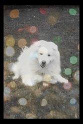 Cyrus, chien Samoyède