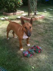 Cyrus, chien Bull Terrier