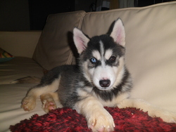 Cyrus, chien Husky sibérien