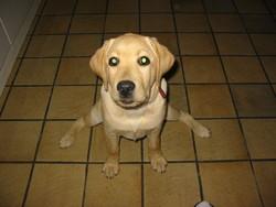 Cyska, chien Labrador Retriever