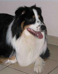 Cysko, chien Berger australien