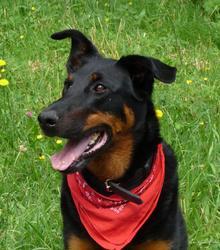 Cythère, chien Beauceron
