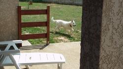 Cytji, chien Berger blanc suisse