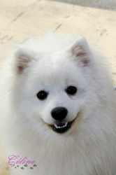 D'Arlinda Chief Joyce Mystic, chien Spitz japonais