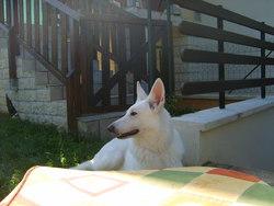 D'Elia, chien Berger blanc suisse