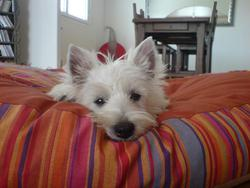 D-G, chien West Highland White Terrier