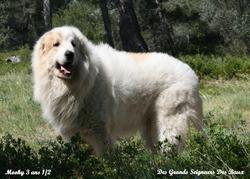 D'Kôh-E-Noor Du Bois Du Frêne, chien Chien de montagne des Pyrénées