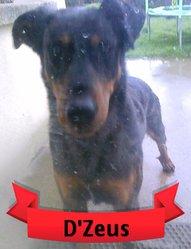 D'Zeus, chien Beauceron