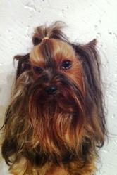 D'Zeus, chien Yorkshire Terrier