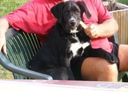 Gunter, chien Labrador Retriever
