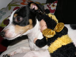 Anis, chien Jack Russell Terrier