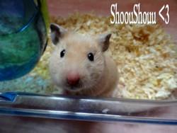 Shooushoou , rongeur Hamster