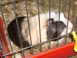 Bonzai, rongeur Cochon d'Inde