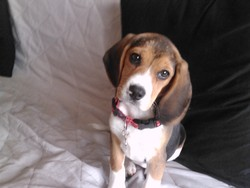 Elisa, chien Beagle