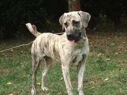 Escama, chien Cão fila de São Miguel