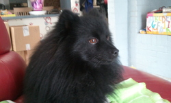 Loulou, chien Spitz allemand