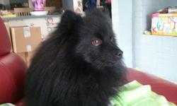 Loulou, chien Spitz allemand