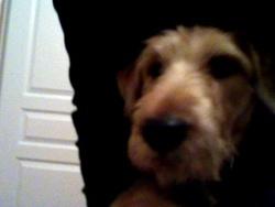 Chouchou, chien Fox-Terrier