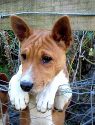 Peggy, chien Basenji