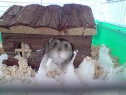 Hâm Ster, rongeur Hamster