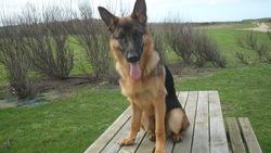 Fox, chien Berger allemand