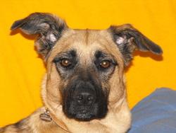 Dora, chien Berger belge