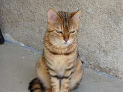 Ficelle, chat Bengal
