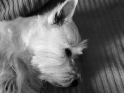 Biscotte, chien West Highland White Terrier