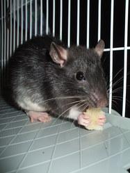 Bart, rongeur Rat
