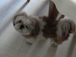 Milou, chien Shih Tzu