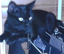 Dahlia, chat Européen