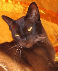 Uragan, chat Burmese