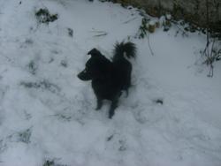 Pixel, chien Schipperke