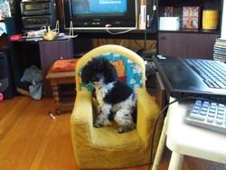Cassy, chien Caniche