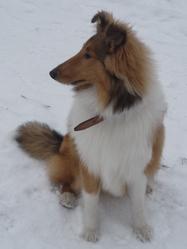 Juna, chien Colley à poil long