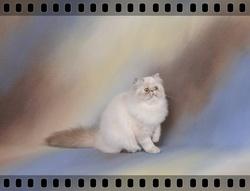 Flore Des Féeries, chat Persan