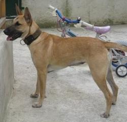 Dayka, chien Bull Terrier